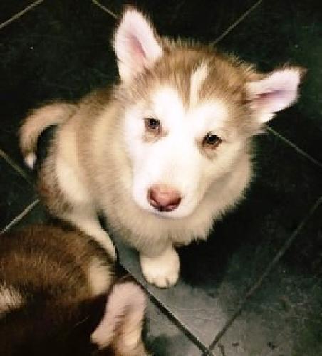 11 weeks Alaskan Malamute Puppies AKC regist 11 weeks