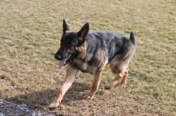 19 month old German Shepherd Dog