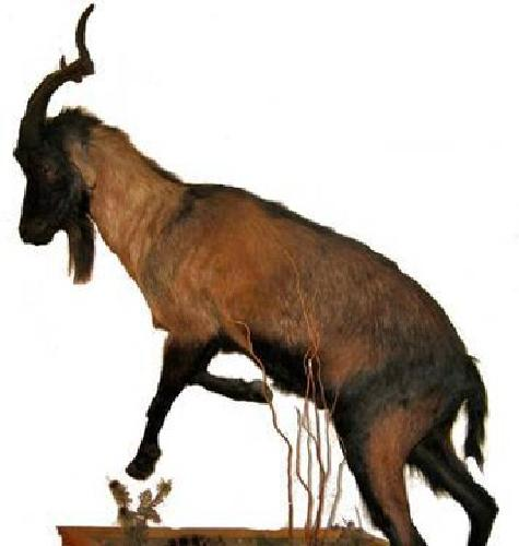 $1,500 Large Mounted Wild Ibex Cross Spanish Goat Mexico