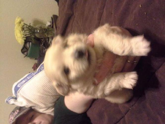 $200 pomeranian puppies (se okc )