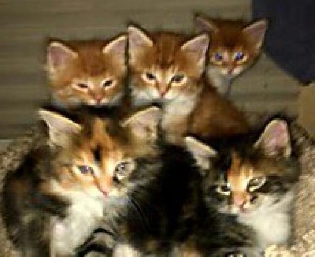 2 MALE CFA Maine Coon kittens, 6 weeks