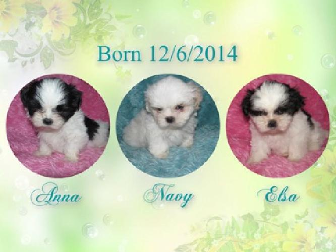 3 Adorable Shih Tzu Puppies 2 Girls 1 Boy 1 Available For Sale
