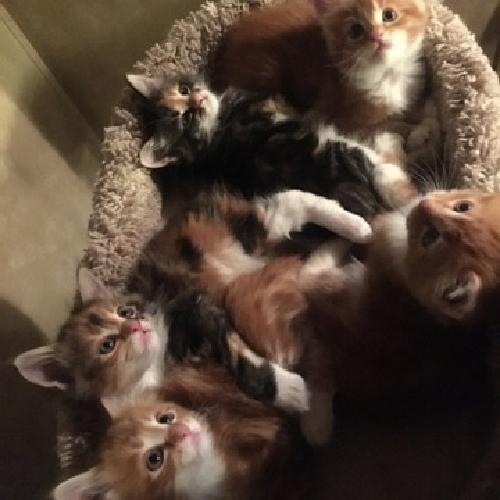 3 Female CFA Maine Coon Kittems, 6 weeks