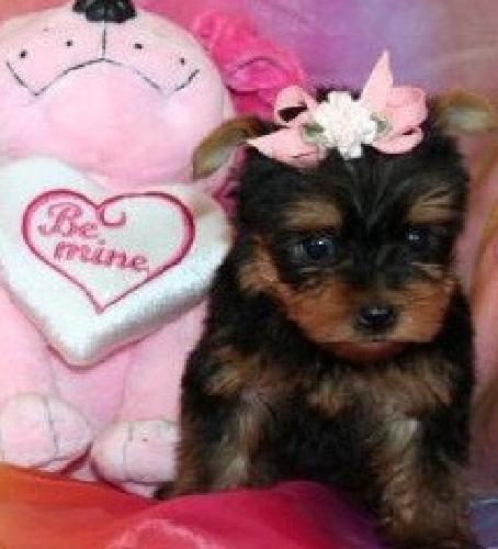 9à_( Charming Teacup Pomeranian Puppies Avialable