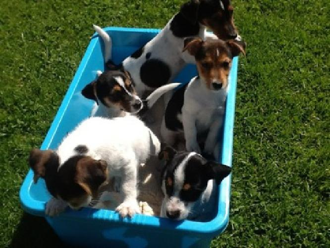 A beautiful and well trained Jack Russell Puppies