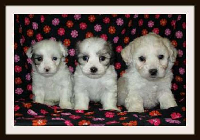 Absolutely Adorable Maltese Mixed with Poodle Pups