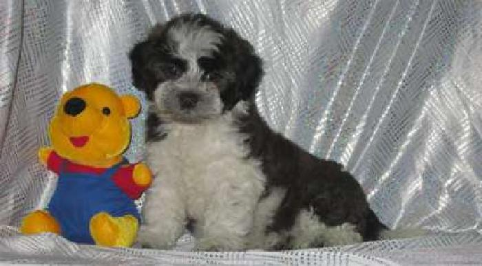 Absolutely Beautiful Maltese/Shih Tzu Pups