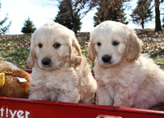 Adorable F1 Female Mini Golden Doodle, Ready Now for sale in