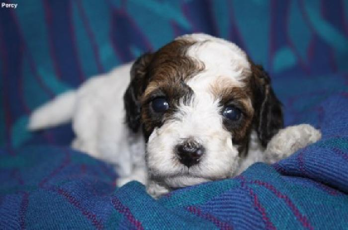 Adorable F1b Cockapoo Puppies, 10-15lbs grown for sale in