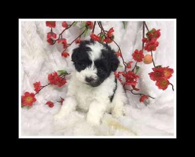 Adorable Maltese and Shih Tzu Mixed Pups