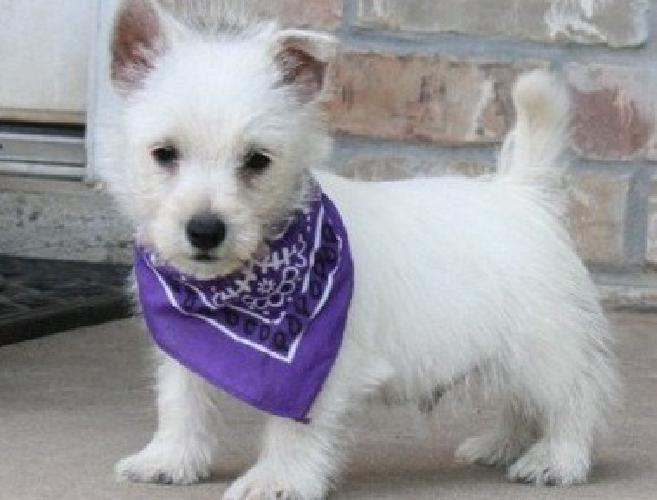 .adsddv f West Highland White Terrier Puppies For Sale