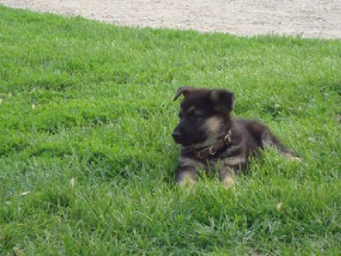 adsgfergf German Shepherd Puppies for sale