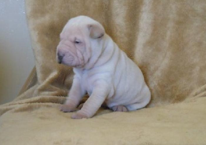 Affectionate Male / Female Chinese Shar-Pei Puppies