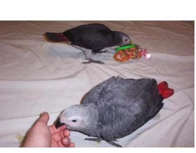 .African Grey Parrots For Sale