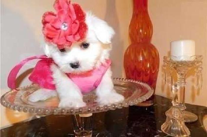 Agreeable TEACUP Maltese Puppies