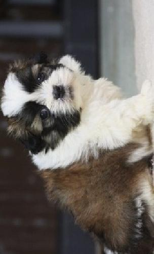 Ajvha Snashy Boys And Girls Shih Tzu Puppies For Sale For Sale In