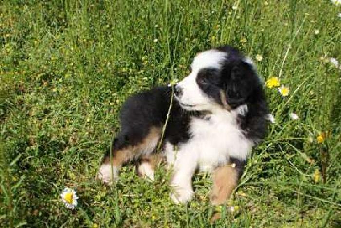 AKC Australian Shepherd Black Tri Puppy