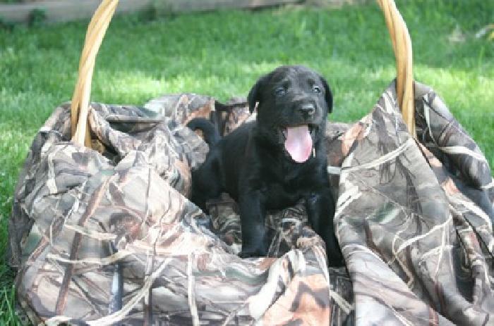 AKC Championship Bloodline Labrador Retrievers
