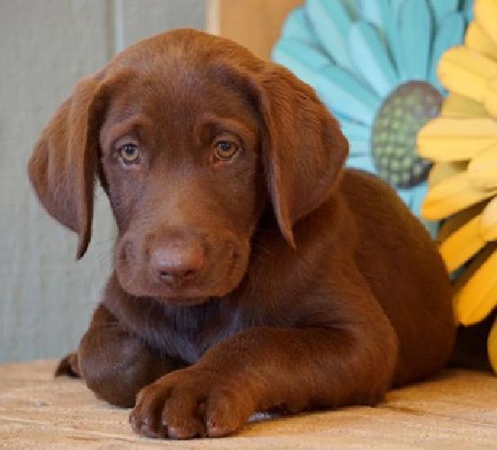 AKC Chocolate Labrador Retriever