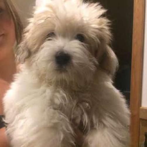 AKC Coton De Tulear Puppies for sale