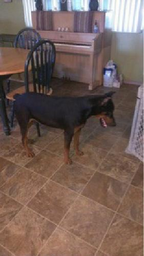 AKC Doberman Puppies Born March 9th