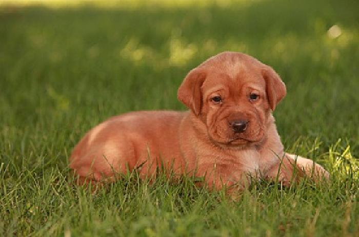 AKC English *Fox Red* Labs for sale in Weedville