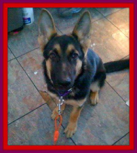 AKC german Shepherd female 3 yrs young