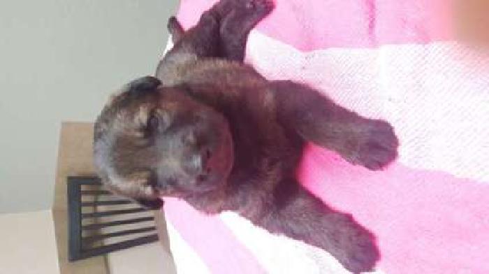 AKC German Shepherd puppies Sable and Bicolor