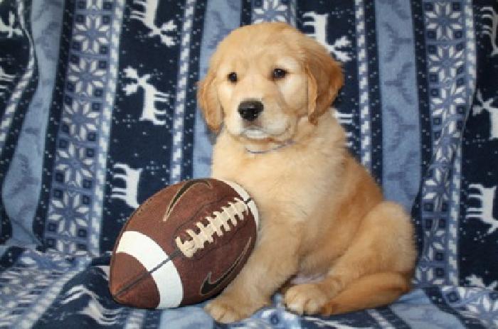 AKC Golden Retriever Puppies - Upcoming Litter