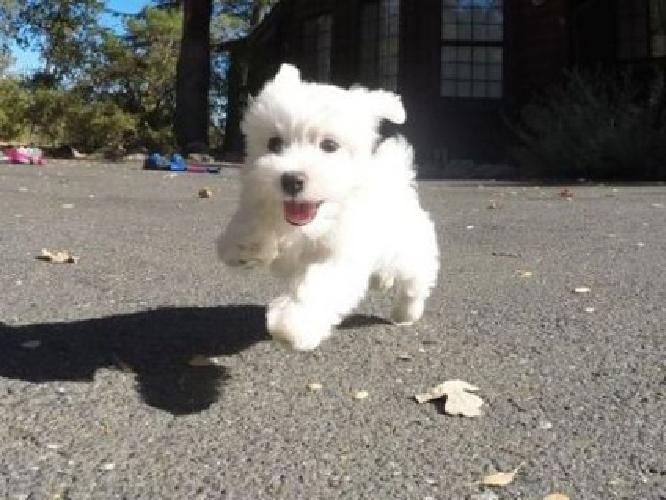 AKC Male Maltese Puppy Available