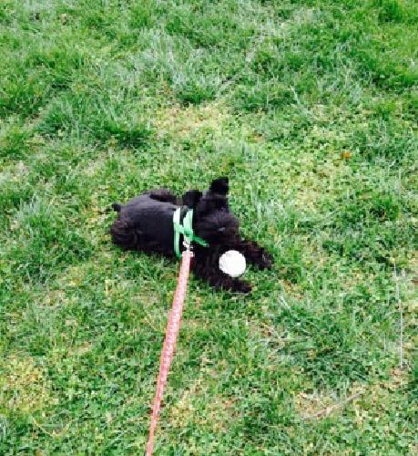 AKC Male Miniature Schnauzer Puppy~Cooper~