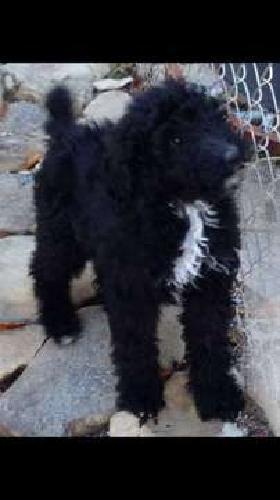 AKC Male Standard Poodle Puppy