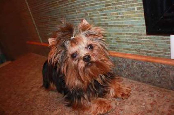 AKC Male Yorkie 1 year old