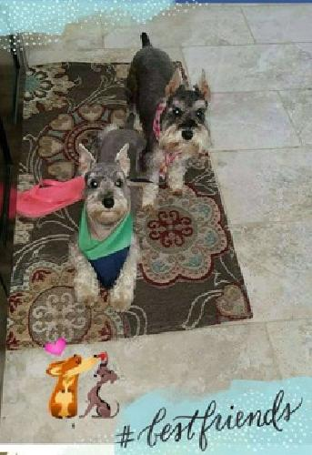 AKC Minature Schnauzer Puppies