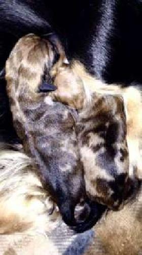 AKC Mini Dachshund puppies