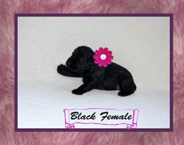 AKC Miniature Schnauzer Champion Bloodline Puppies