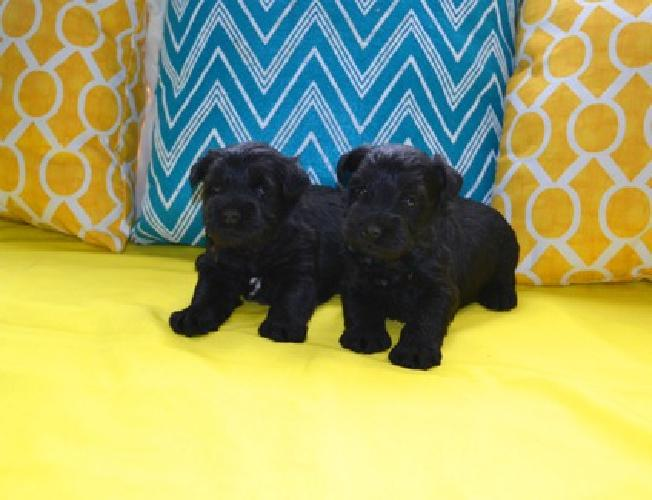 AKC Miniature Schnauzer Puppies~