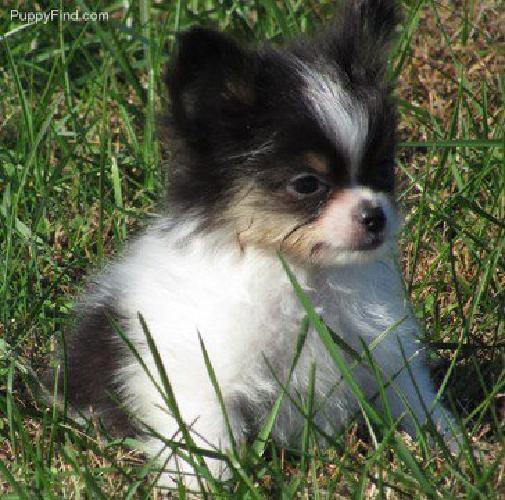 AKC PAPILLON Puppy