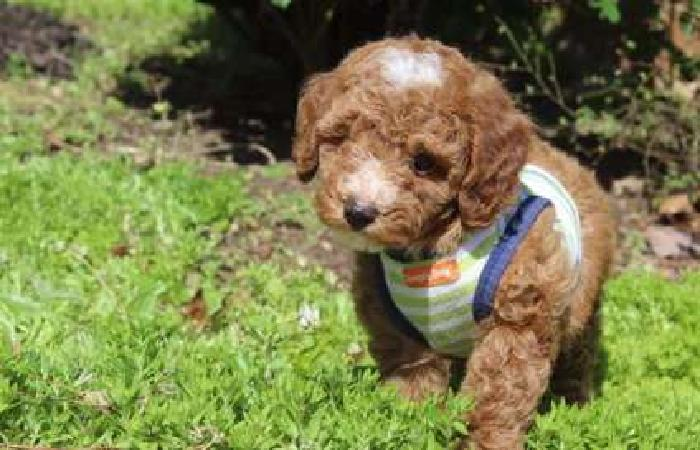 Akc Poodle Puppies -Super Litter NEW