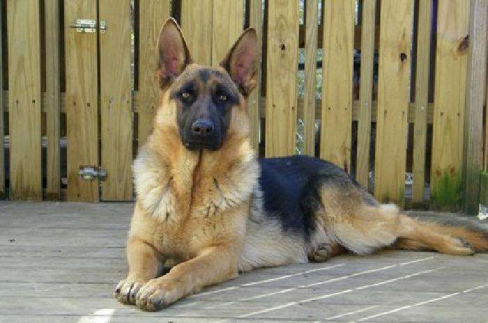 AKC Quality German Shepherd Puppy for sale