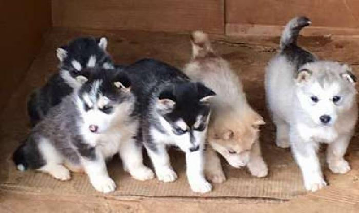 AKC Registered Alaskan Malamute Puppies