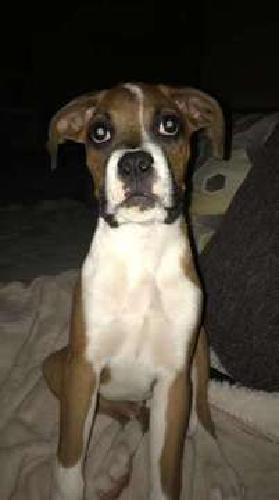 AKC registered boxer/beagle puppy