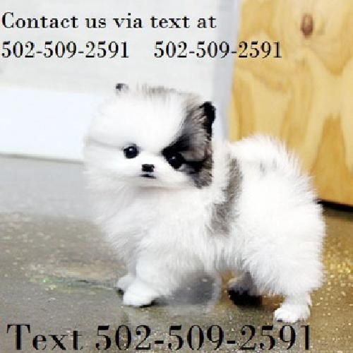 AKC Registered Teacup Pomeranian pups for sale in Chesapeake