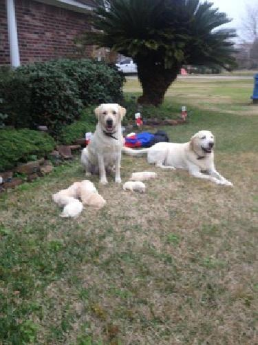 AKC Registered Yellow Lab Puppies with Champion Bloodline