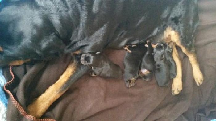 Akc Rottweiler Puppies In Glen Rock Pa For Sale In West York