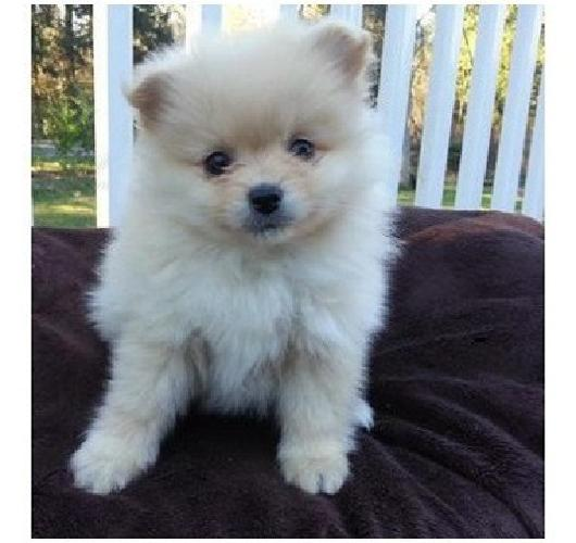 AKNCH*-SJDH Adorable Male and Female Pomeranian Puppies