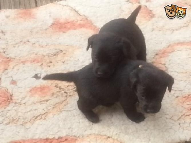 An outstanding and calm looking Labrador Puppies
