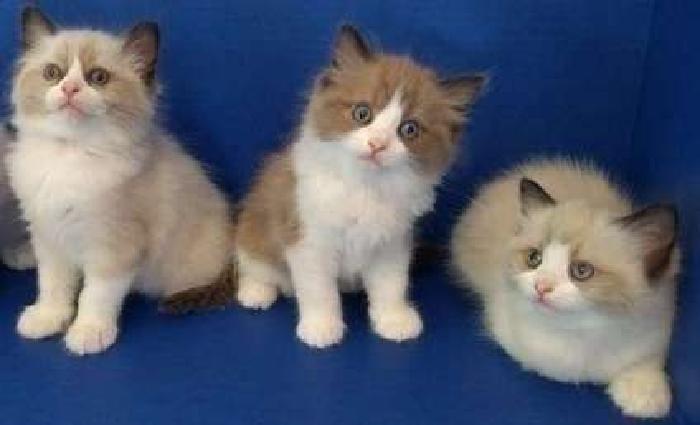 appealing M/F Ragdoll Kittens For Sale
