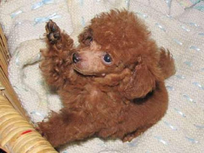 Apricot, Red, Chocolate, Black or White Toy Poodle Puppies