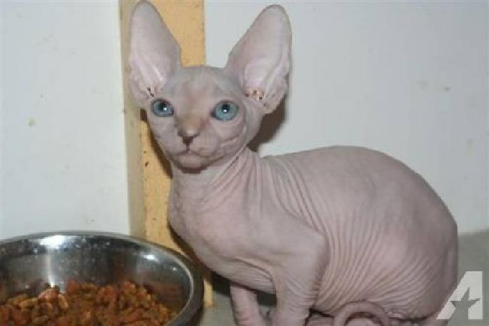 asde Sphynx Kittens Ready Now
